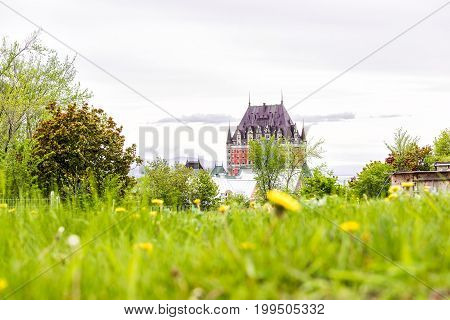 Quebec City Canada - May 29 2017: Closeup of yellow dandelion flowers in park garden with view of Chateau Frontenac