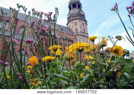 Riga Litva July 31 2017 St. Peter's Church. View through flowers. Focus on flowers