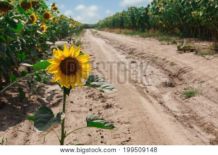 Sunflowers at field background. Agricultural business, sunflower oil production. Summer farming.