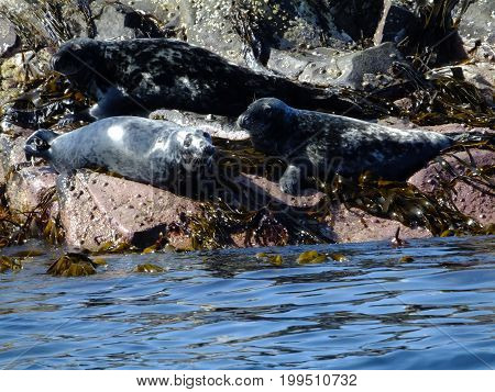 Grey seals resting amongst seaweed and welk covered rocks