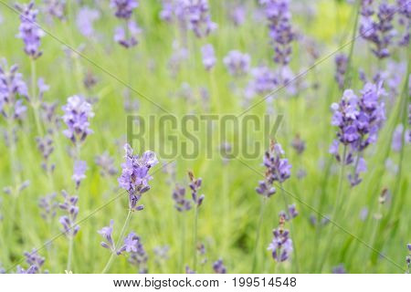 Lavender flower Field in the summer background
