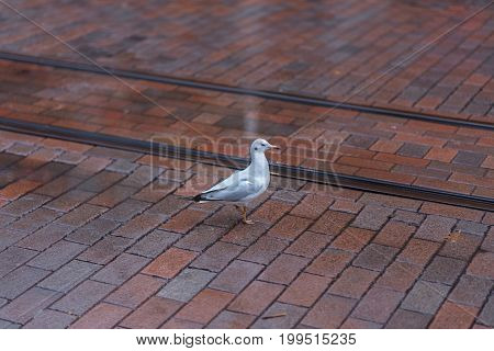 Seagull in the city sitting on the street