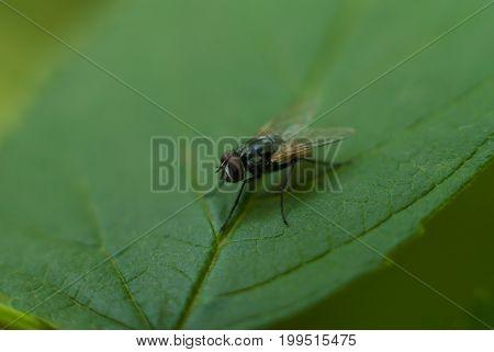 Closeup of a fly on a green raspberry leaf.