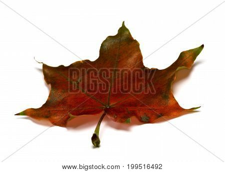 Brown Dry Autumnal Maple Leaf