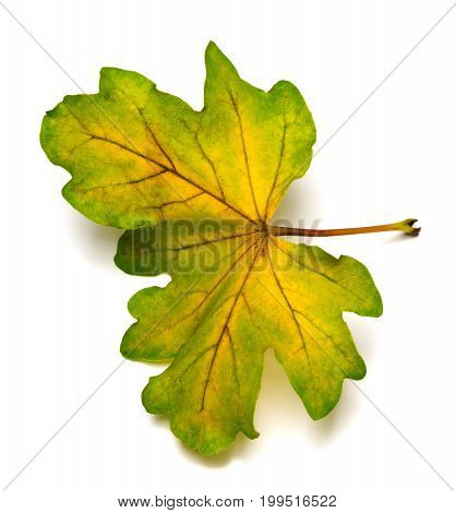 Multi Colored Autumn Leaf Of Oak