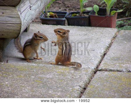 Chipmunks Playing