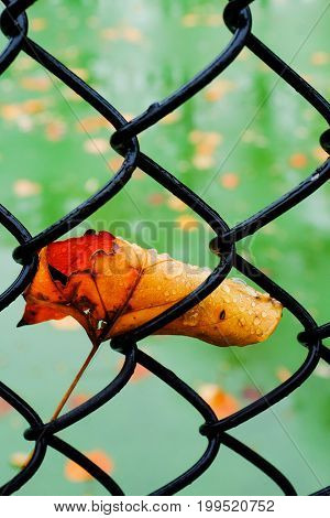 Autumn maple leaf stuck in the fence
