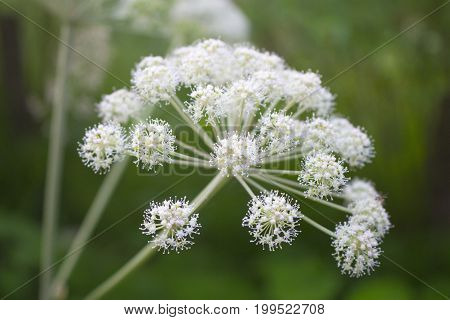 Angelica sylvestris plant, white flowers blooming on green background