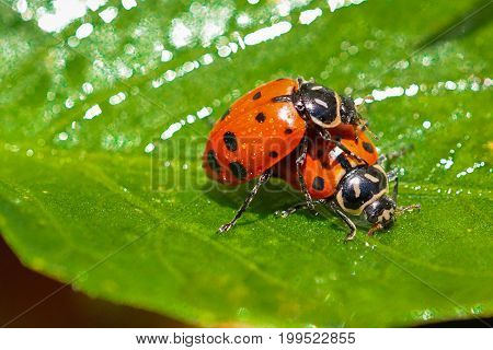 North American oval shape ladybugs macro shot