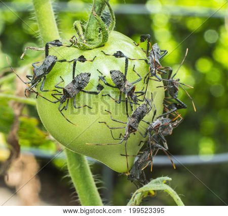 Large group of Leaf-footed bugs feeding on green tomatoes in the garden closeup and detailed.