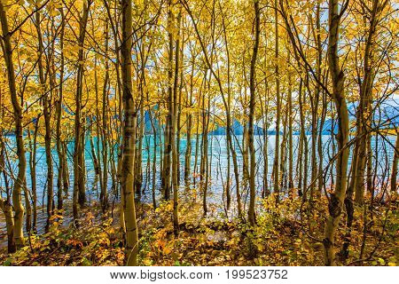 Rocky Mountains of Canada in Indian summer. Cloudless day in October. Magnificent turquoise Abraham Lake in a flood. The flooded coastal gold birchwoods