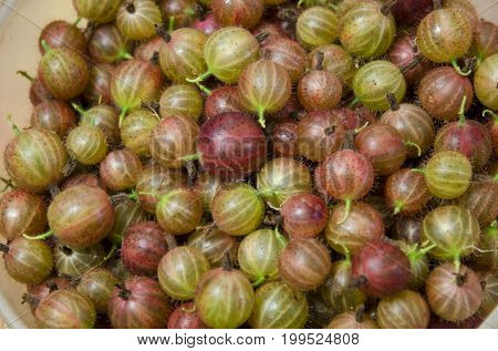 The berries of gooseberry lie in loose plastic containers.