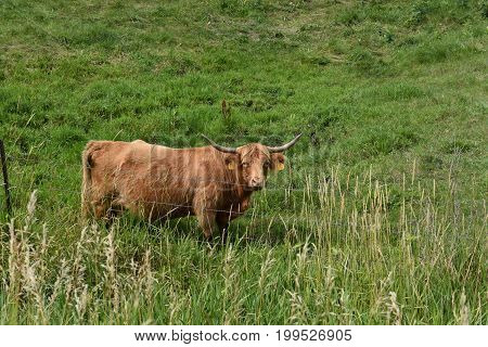 A Scottish Highland bull with long horns grazes in a pasture