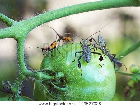 Crisp macro photo of Leaf footed bug adult and orange nymph feeding on green tomato in garden.