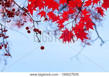Branches with red fall berries and maple leaves on blue sky background