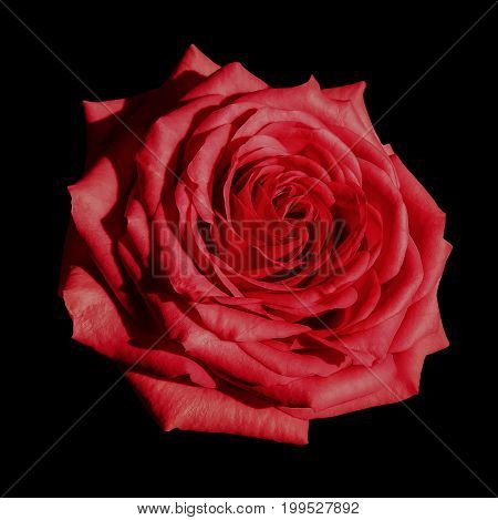 Red rose flower black isolated background with clipping path. Closeup no shadows. Nature.