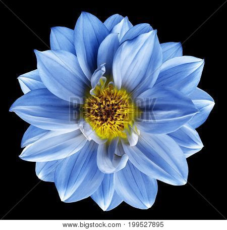 Blue flower on isolated black isolated background with clipping path. Closeup. Beautiful Bright blue flower for design. Dahlia. Nature.
