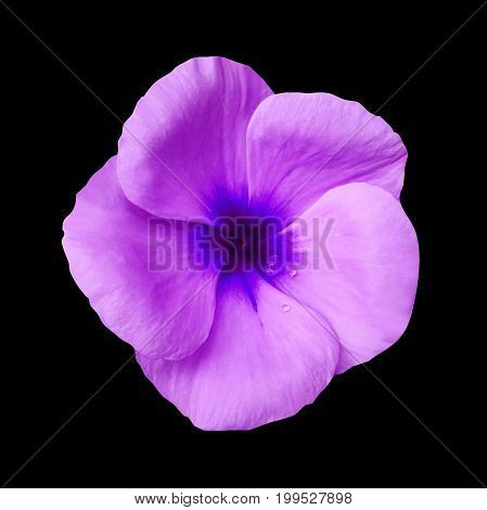 Purple flower on isolated black background with clipping path. Closeup. Beautiful purple-blue flower Violets for design. Nature. .