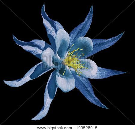 Flower blue. Isolated on the black background with clipping path. No shadows. Closeup. A beautiful primrose blossoms. Nature.