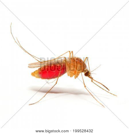 Anopheles mosquito with belly full of blood. Dangerous vehicle of zika, dengue, chikungunya, malaria and other infections.  Insect isolated on white background.
