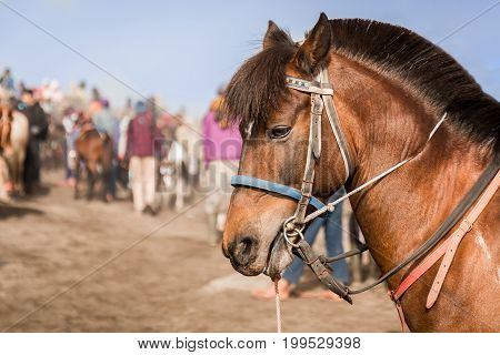 Close-up of a Brown horse transport tourists in Bromo Tengger Semeru National Park East Java Indonesia.