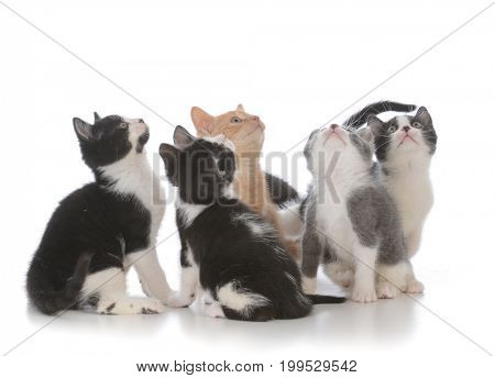 litter of young kittens looking up isolated on white background