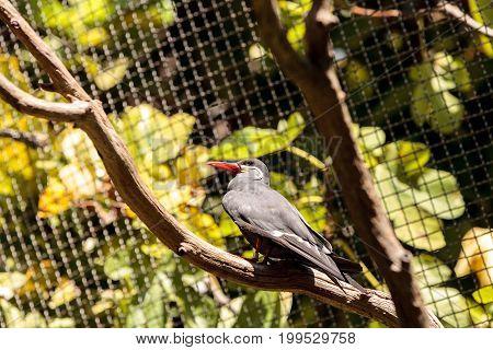 Inca Tern Bird Called Larosterna Inca