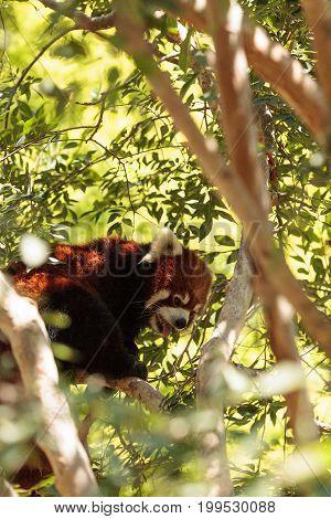 Red Panda Ailurus Fulgens