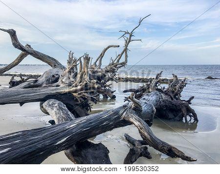 An image taken of driftwood from Jekyll Island, Georgia at Driftwood Beach.