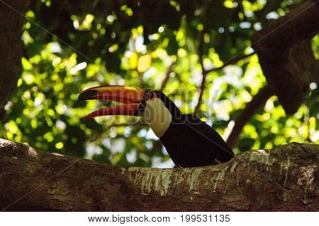 Toco Toucan called Ramphastos toco can be found in the forests of South America