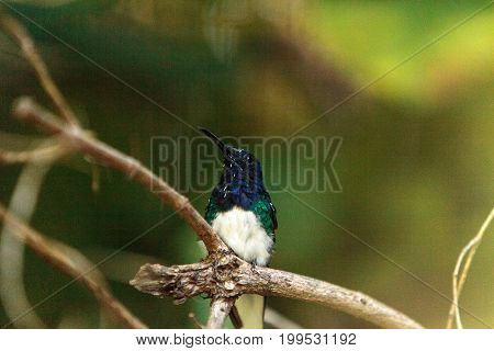 White Necked Jacobin Hummingbird Known As Florisuga Mellivora