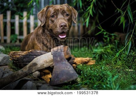 Labrador Retriever. Chocolate Labrador. Brown Dog On Green Background.