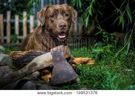 Labrador Retriever. Chocolate Labrador. Brown Dog On Green Background.