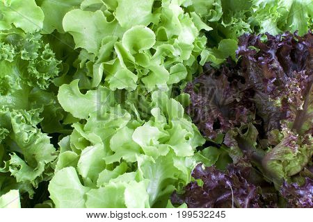 green and red Lettuce and green oak vegetable close up
