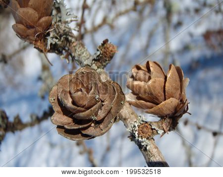 Some larch cones was found in the spring