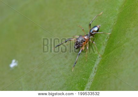 macro image of an ant mimic spider
