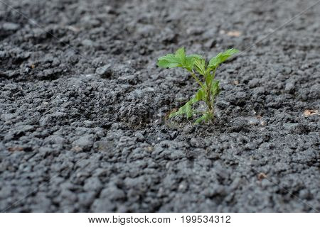 Small green plant germinating through asphalt in the city