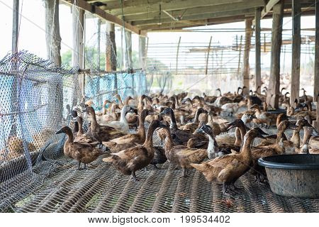 Duck Eating Food In Farm, Traditional Farming.