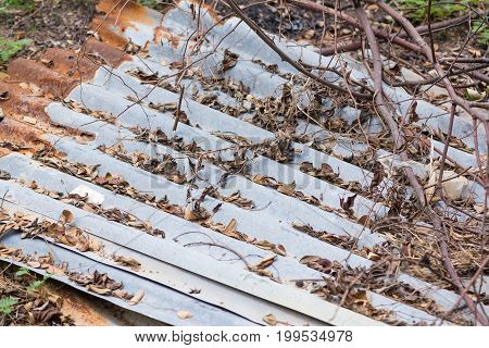 Dried Leaves Stuck On The Roof Made Of The Rust Galvanized Sheet.