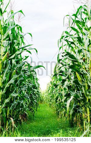 Row of green corn field in agricultural field