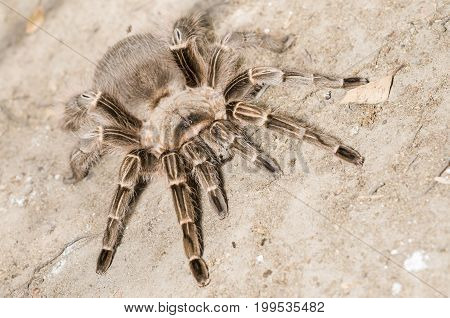 Restrained Pink Zebra Tarantula (Aphonopelma seemanni) in Montecito CA. Native to Brazil Argentina and Paraguay.