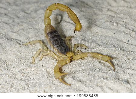 Desert Hairy Scorpion crawling on sandy ground