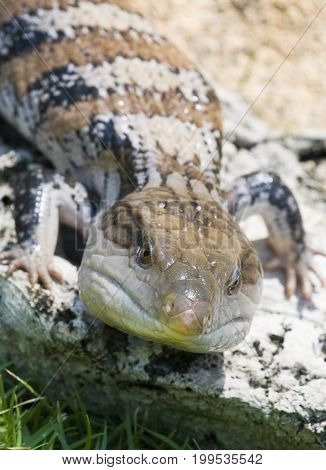 Blue-tongued skink or Blue-tongued Lizard on rock