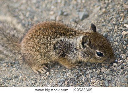 Chipmunk on ground in Big Sur, California