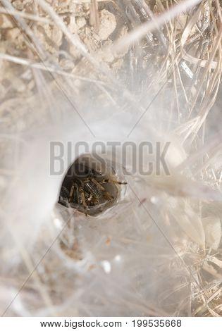 Plasket Creek & LimeKiln Big Sur CA. Funnel-web Grass Spider (Family: Agelenidae Funnel Web Weavers)