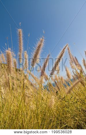 Dune grass (Leymus mollis) and other plants along the Pacific Coast Highway (PCH) in California.