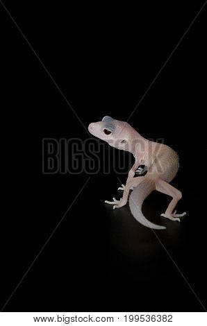 Diablo Blanco Gecko isolated against black background