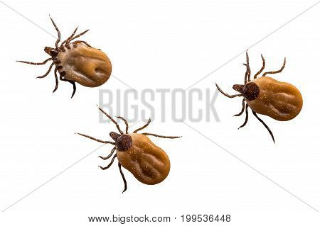 Ticks Filled With Blood Crawling On White Background
