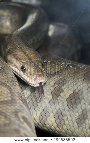 Ghost Colombian Raindow Boa curled and hissing poster