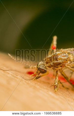 Macro Of Smashed Mosquito (aedes Aegypti) To Died